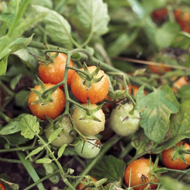 pomodori agricoltura biologica